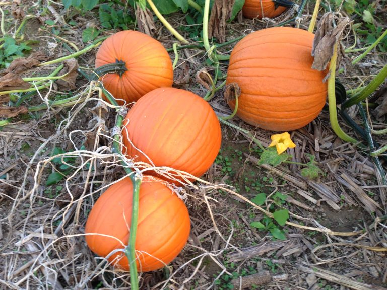 pumpkins in field3